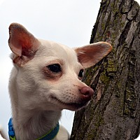 Adopt A Pet :: Mercedes - Bridgeton, MO