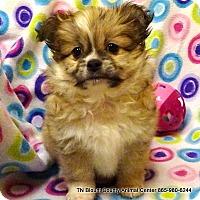 Adopt A Pet :: Gavin (lulu Pup) - Maryville, TN