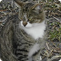 Domestic Shorthair Cat for adoption in Bonita Springs, Florida - Button