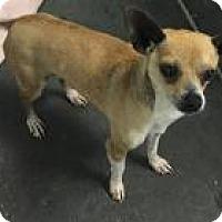 Adopt A Pet :: Little Man Chi - Shawnee Mission, KS