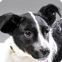 Adopt A Pet :: Delilah - Danbury, CT
