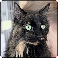 Domestic Longhair Cat for adoption in Colorado Springs, Colorado - Lola