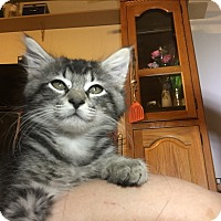 Domestic Mediumhair Kitten for adoption in Bakersfield, California - Iris