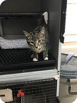 Domestic Shorthair Kitten for adoption in Mount Sterling, Kentucky - Pete