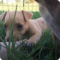 Adopt A Pet :: Lollipop - Austin, TX