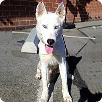 Adopt A Pet :: Pooka - Redondo Beach, CA