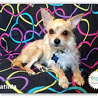 Adopt A Pet :: Matilda (Yorkie Mom) - Plainfield, IL