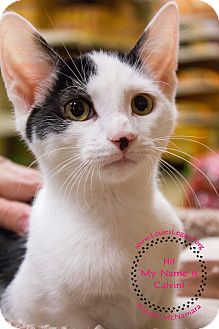 Domestic Shorthair Kitten for adoption in Staten Island, New York - Calvin