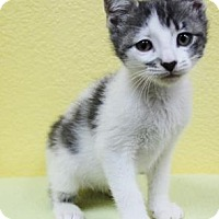 Domestic Shorthair Kitten for adoption in Benbrook, Texas - Chad