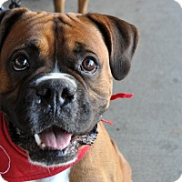 Boxer Mix Dog for adoption in Fairfax Station, Virginia - Purell