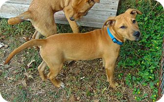 Labrador Retriever Mix Puppy for adoption in Seattle, Washington - Niki