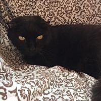 Domestic Shorthair Cat for adoption in Alexandria, Virginia - Posh