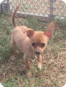 Chihuahua Puppy for adoption in Brighton, Tennessee - Emily (GAPR/TN Foster)