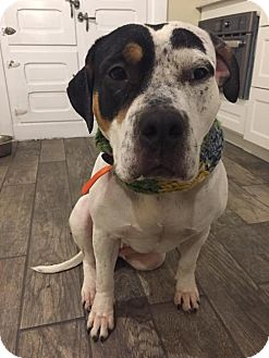 American Staffordshire Terrier/Hound (Unknown Type) Mix Dog for adoption in Westampton, New Jersey - Shelby  33138381 *IN FOSTER*