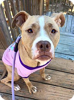 Pit Bull Terrier/American Pit Bull Terrier Mix Dog for adoption in Atlanta, Georgia - Wilma