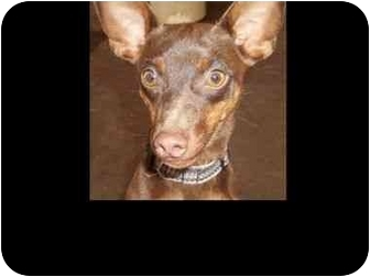 Miniature Pinscher/Chihuahua Mix Dog for adoption in Phoenix, Arizona - Choco