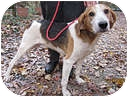 Treeing Walker Coonhound Dog for adoption in Chesterfield, Virginia - Scott