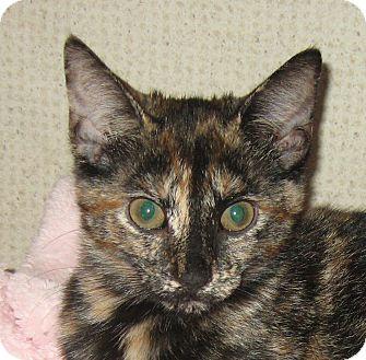 Domestic Shorthair Kitten for adoption in Hamilton, New Jersey - FOXY
