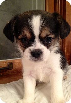 Japanese Chin/Pug Mix Puppy for adoption in ST LOUIS, Missouri ...