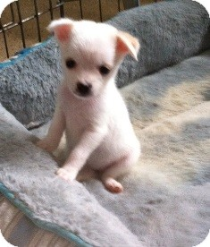 Sophie | Adopted Puppy | Tustin, CA | Jack Russell Terrier/Maltese Mix