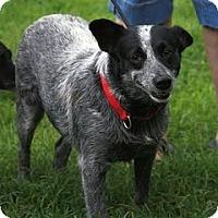 Adopt A Pet :: Claire Belle - Staunton, VA