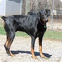 Adopt A Pet :: Bear - New Richmond, OH