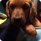 Adopt A Pet :: Fredonia