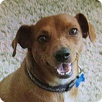 Adopt A Pet :: Brownie - Bellflower, CA