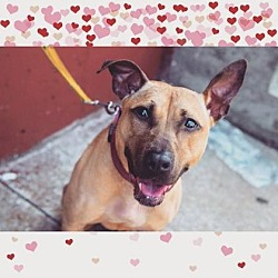 Photo 2 - American Pit Bull Terrier/Shepherd (Unknown Type) Mix Dog for adoption in Brooklyn, New York - Regina