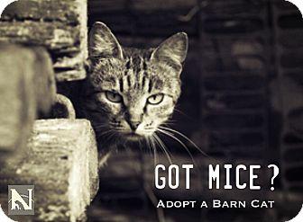 Domestic Shorthair Cat for adoption in Trinidad, Colorado - Barn Cats