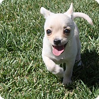Adopt A Pet :: Jelly - Henderson, NV