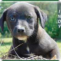 Adopt A Pet :: Indy - Marlborough, MA