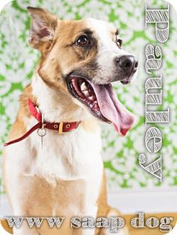 Hound (Unknown Type)/Border Collie Mix Dog for adoption in Newport, Kentucky - Pauley
