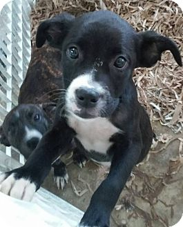 Boxer Mix Puppy for adoption in middle island, New York - MIA
