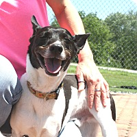 Rat Terrier Mix Dog for adoption in Gettysburg, Pennsylvania - Buster