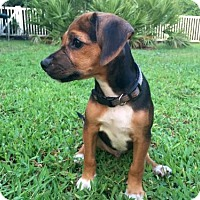 Adopt A Pet :: Ranger II - Tampa, FL