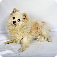 Adopt A Pet :: Kysha Pomeranian - St. Louis, MO