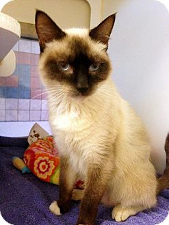 Siamese Cat for adoption in Vista, California - McScruff