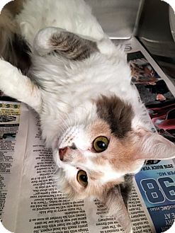 Calico Cat for adoption in North Las Vegas, Nevada - Abby