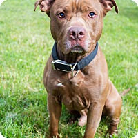 Staffordshire Bull Terrier Mix Dog for adoption in Mohawk, New York - Chico