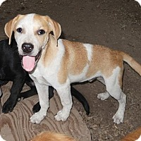 Adopt A Pet :: Gipper - Rockingham, NH