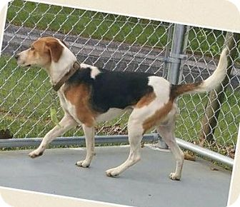 Beagle/Hound (Unknown Type) Mix Dog for adoption in Lexington, Massachusetts - Cooper