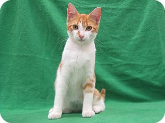 Domestic Shorthair Cat for adoption in Redwood Falls, Minnesota - Leo