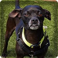 Adopt A Pet :: Bear - Sedona, AZ