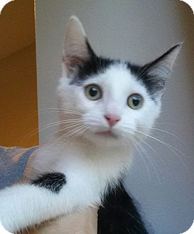 Domestic Shorthair Kitten for adoption in Cherry Hill, New Jersey - Aria