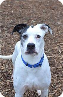 Dalmatian/Boxer Mix Dog for adoption in Delaware, Ohio - Vedder