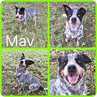 Adopt A Pet :: Mav - Alvarado, TX