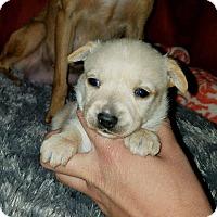 Adopt A Pet :: Pup # 1 - Waipahu, HI