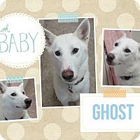 Adopt A Pet :: Ghost - Clear Lake, IA