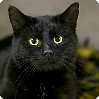 Adopt A Pet :: Splat the Cat - Kettering, OH